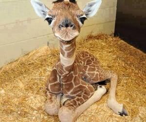 adorable, giraffe, and animal image