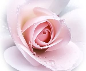 delicate, pink, and droplets image