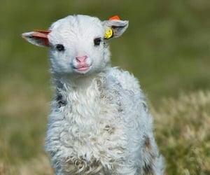 cute, animal, and lamb image