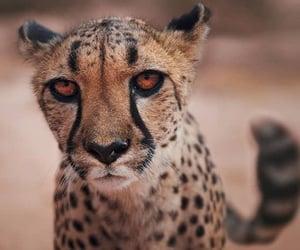 Animales, naturaleza, and guepardo image