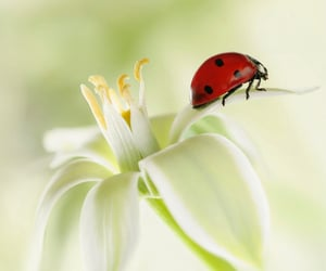 flower, ladybug, and macro image