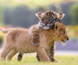 lion, animals, and feline image
