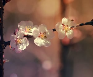 blossoms, flowers, and cherry blossoms image