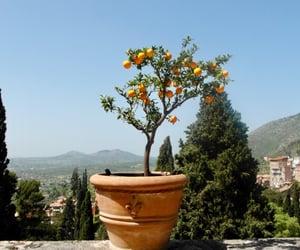 lemon tree image