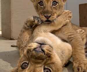 animal, lion, and baby image