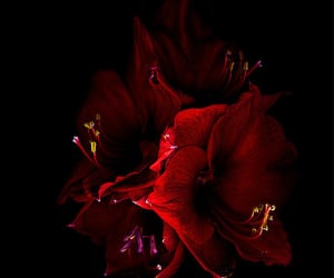 red amaryllis and radiant beauty. image