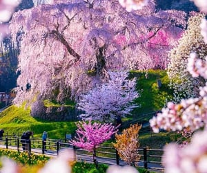 cherry, cherry blossoms, and colors image