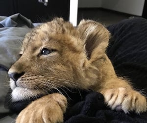 adorable, lion, and perfect image