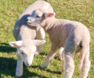lamb, aesthetic, and cute image