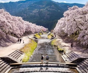 after school, cherry blossoms, and japan image
