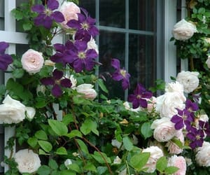 clematis, flowers, and photography image