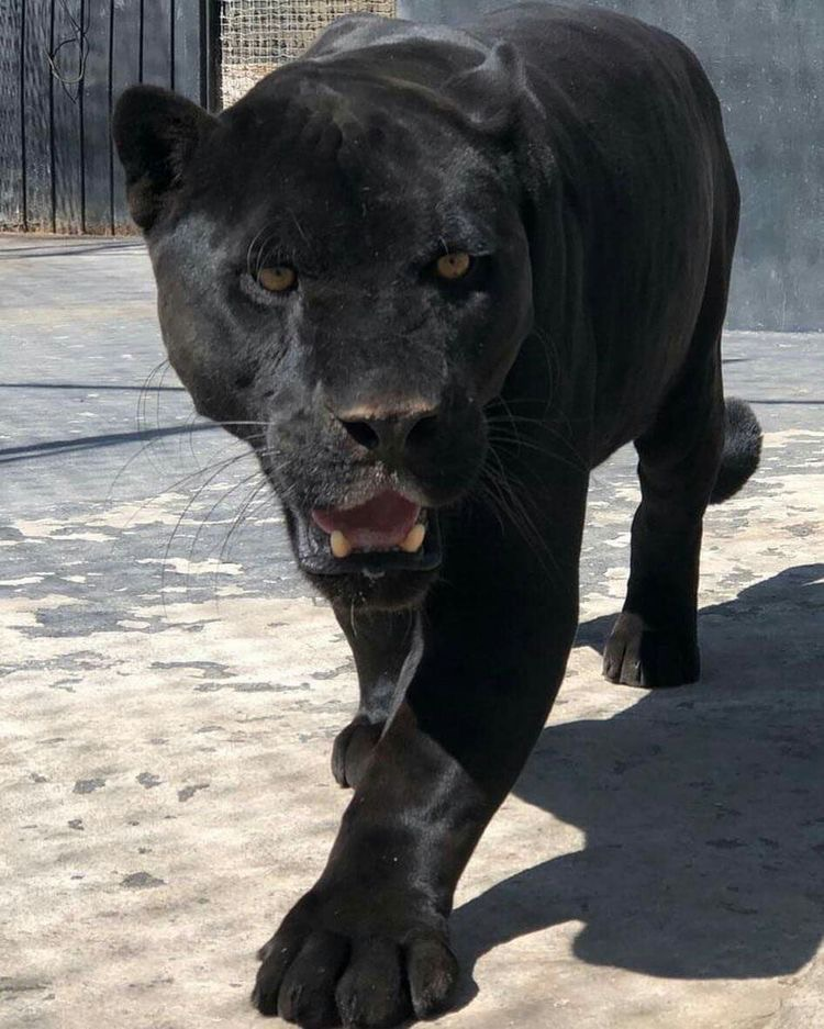 animals, black, and panther image