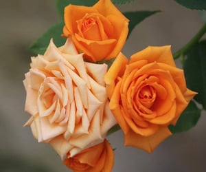 nature, roses, and belleza image