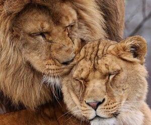 couple, lion, and animal image