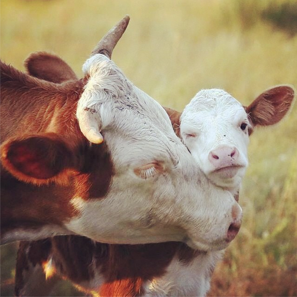 cows, animals, and baby image