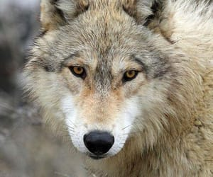 animal, wolfs, and Animales image
