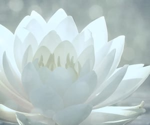 white, flower, and lotus image
