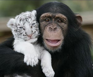 animal, monkey, and tiger image