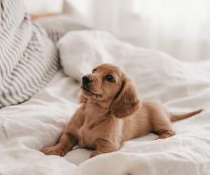 cute dog, animals, and dachshund image
