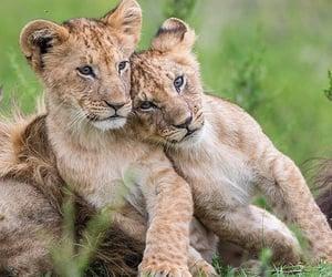 Animales, naturaleza, and león image