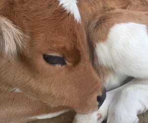 rp, animal, and cow image
