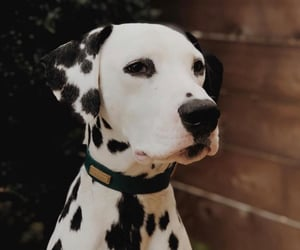 aesthetic, animals, and dalmatian image