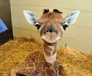 animals, entertainment, and giraffe image