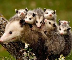 opossum image