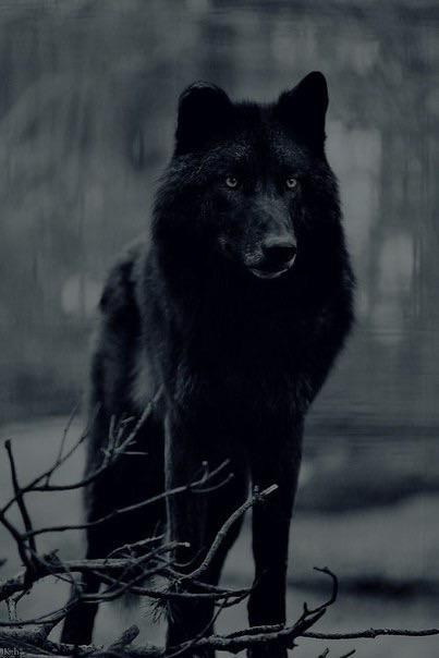 รูปภาพ wolf, black, and animal