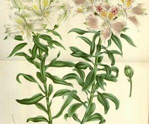 alstroemeria pelegrina and bhl:page=27910667 image