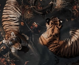 theme, aesthetic, and tiger image