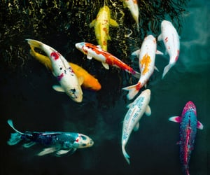 fish, water, and koi image
