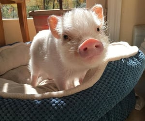cute, animal, and pig image