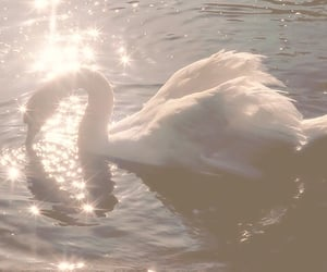 Swan, aesthetic, and water image
