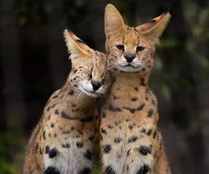 animals, felinos, and naturaleza image