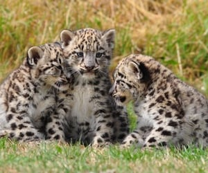 animal, cub, and leopard image