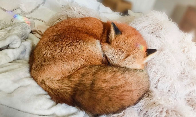 animal, fox, and pet image