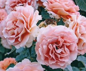 roses, pink, and aesthetic image