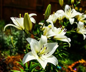 flower, article, and casa blanca lily image