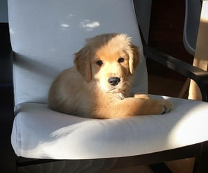 adorable, animal, and golden retriever image