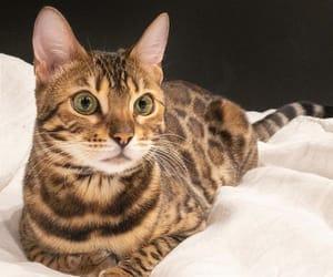 bengal, blackandwhite, and cat image