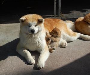 akita, pitbull, and article image