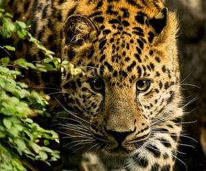 animals, leopardo, and naturaleza image