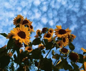 sunflower, sky, and flowers image