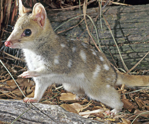 animal, quoll, and marsupial image