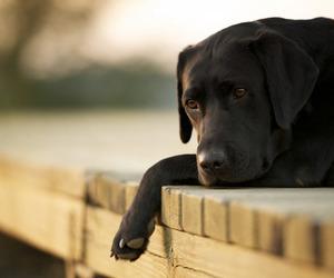 dog, black, and labrador image