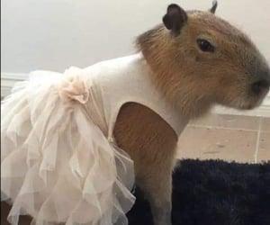animal, capybara, and dress image