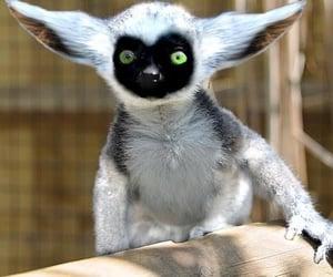 lemur and momo image