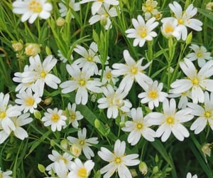 daisies, flowers, and grass image