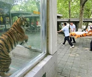 funny, tiger, and 😁 image